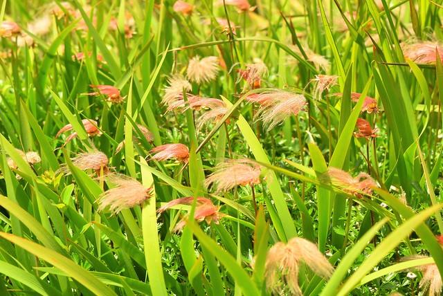 チングルマの穂の群生