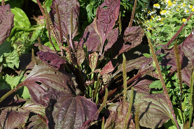 Purple plantain with broad leaves