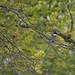 belted kingfisher petrie island 27062015_DSC6347