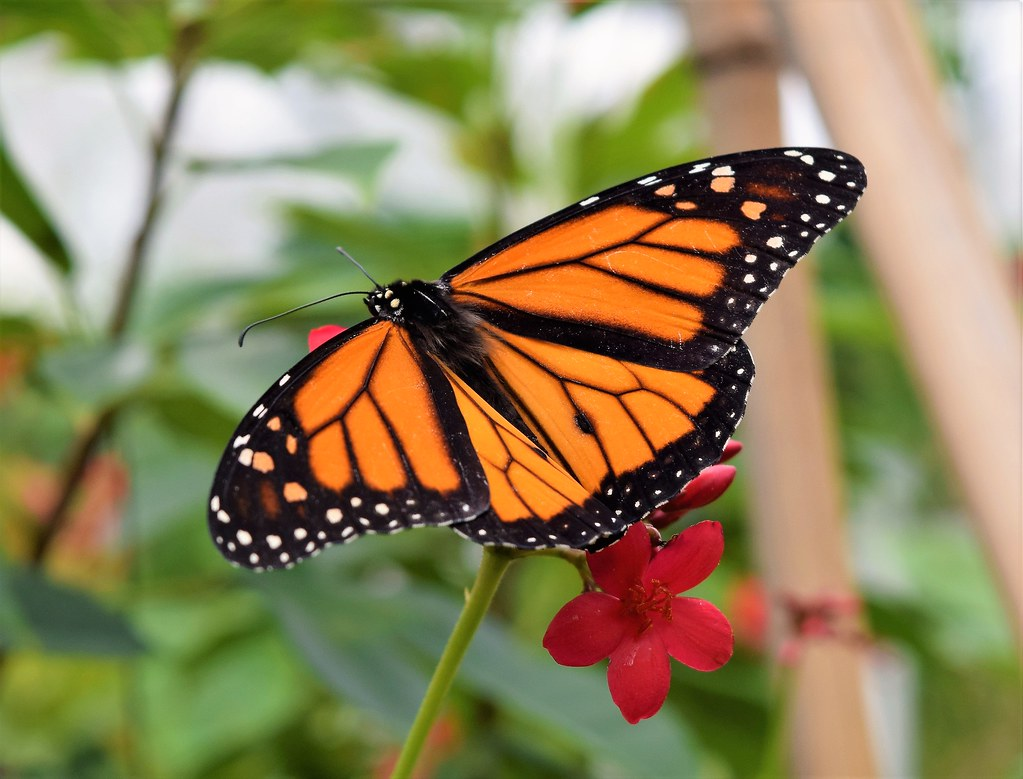 monarch taken at mead botanical garden winter park fl