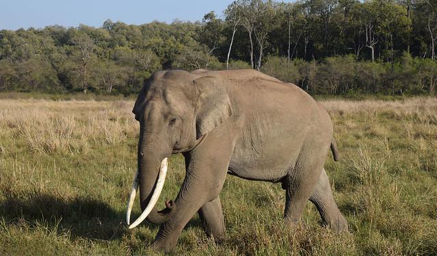 An elephant is seen walking in an open field.