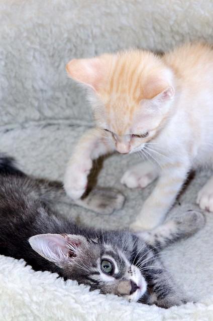 Benny, gatito Azul Ruso Tabby muy guapo y bueno, nacido en Julio´17, en adopción. Valencia. ADOPTADO. 36821693021_7e89cfc6cb_z