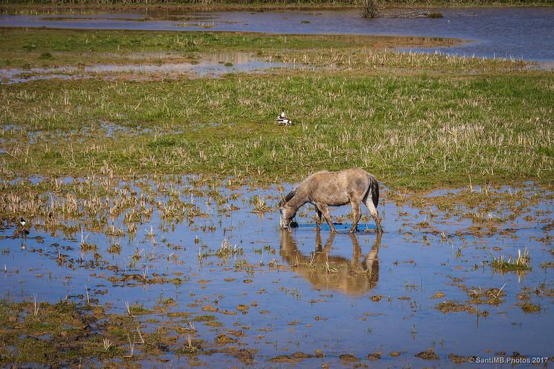 Caballo en una marsma del Delta del Llobregat