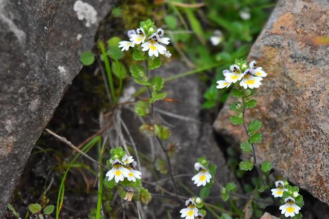 八ヶ岳・横岳のお花畑