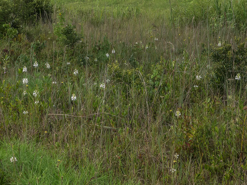 Southern White Fringed orchids on the roadside