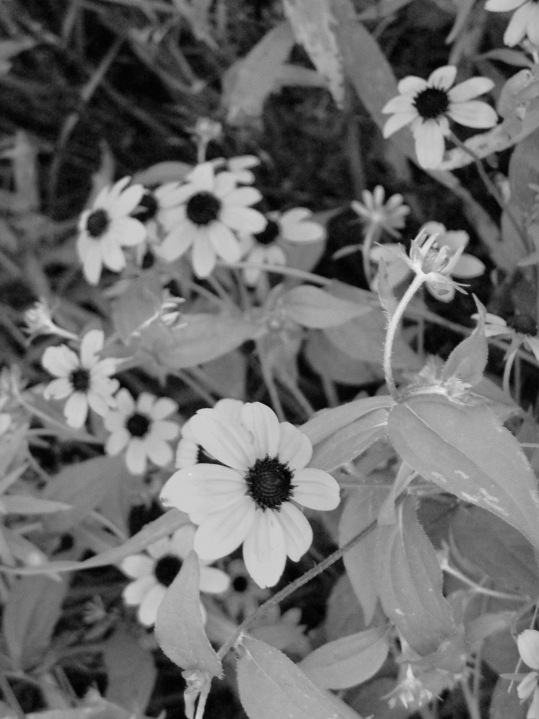 Black And White Flowers Yellow Flowers With A Dark Center Flickr