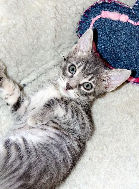Benny, gatito Azul Ruso Tabby muy guapo y bueno, nacido en Julio´17, en adopción. Valencia. ADOPTADO. 36152660643_052535551d_z