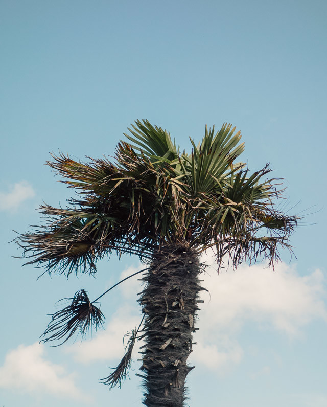 palm tree in poole, dorset