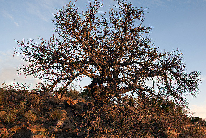 A dead pinon tree reflects the potential combined effects of drought, heat and bark beetles in the Southwest.