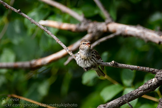 Peeping Sparrow | by Kenjis9965