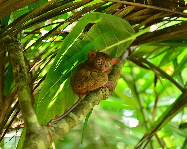 Los tarsiers, uno de los primates más curiosos que ver en Filipinas