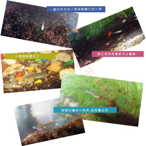 神奇療鬱魔法魚 療癒小物 土壤 魚卵 魚水共生盆栽 魔法魚 自動灌溉 觀賞 景觀 辦公室小物 七彩世界魔法魚