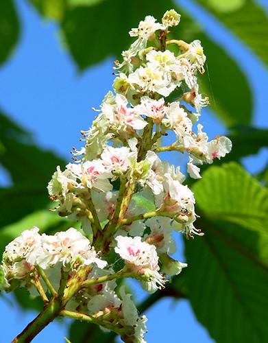 14 fiori di ippocastano