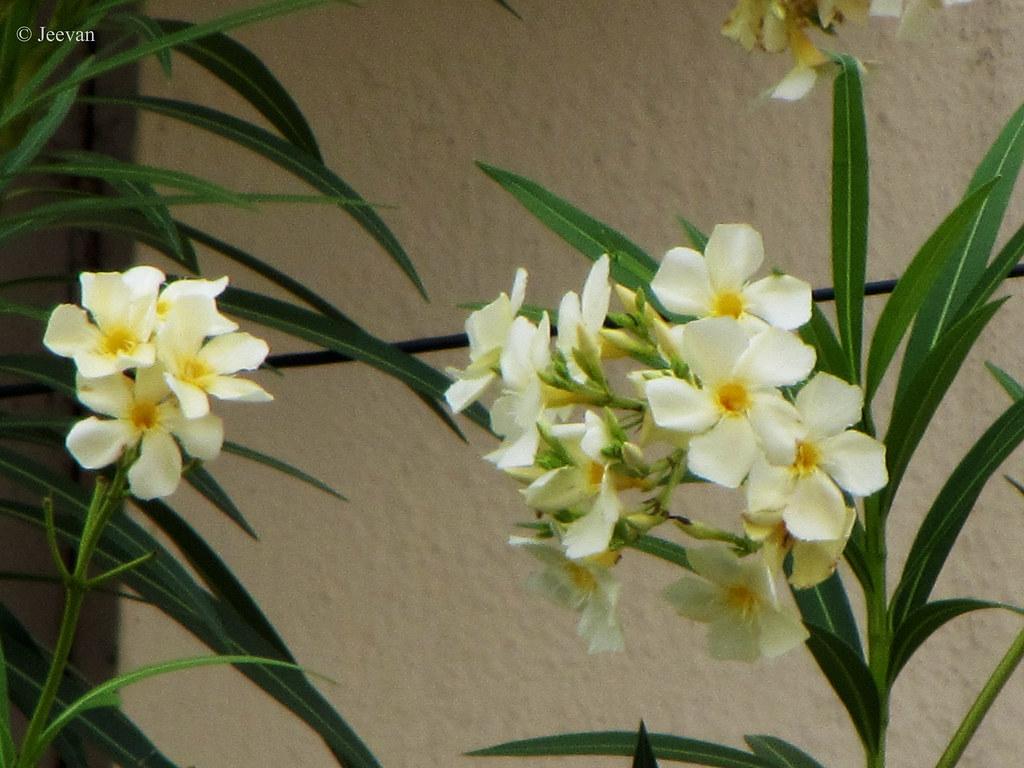Jeevans World Floral Friday White Oleander