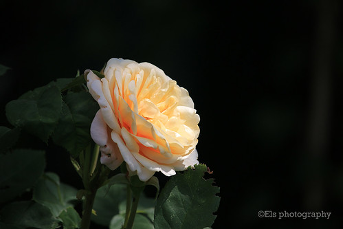Apricot colored rose