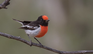 red-capped robin (Petroica goodenovii)-8668 | by rawshorty