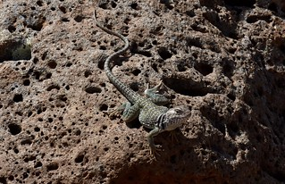 Eastern Collared Lizard (Crotaphytus collaris) | by mitchberk