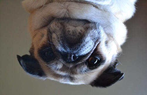 An Upside Down Pug | by DaPuglet