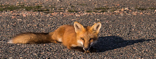 IMG_8032 Red Fox Kit | by Wallace River