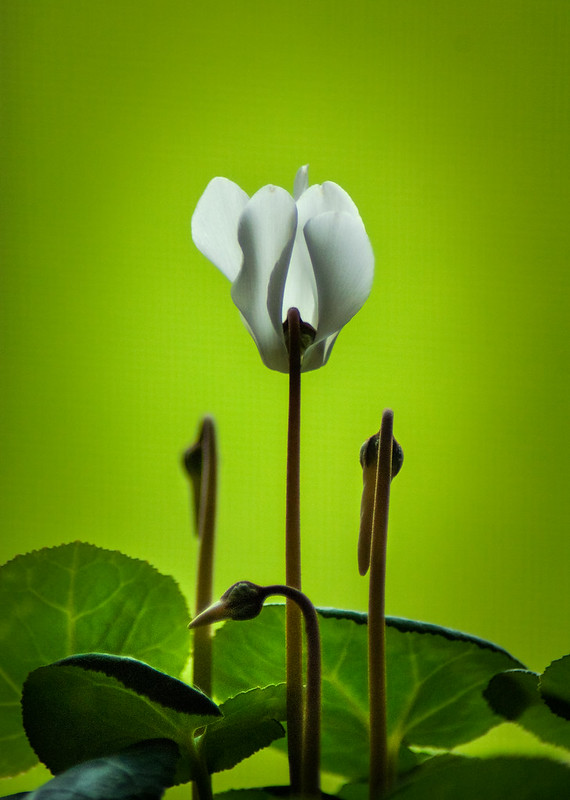 Flower, Green, White, Leaves, Cyclamen