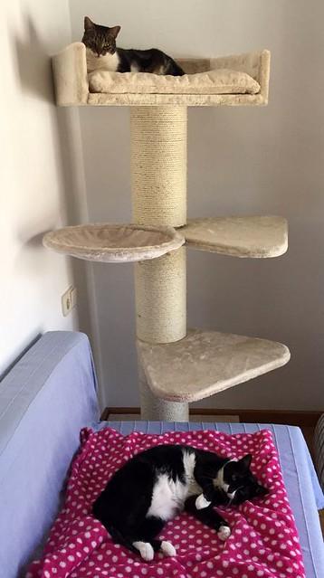 Gitana, gata blanquinegra dulce y tranquila esterilizada, nacida en Febrero´14, en adopción. Valencia. ADOPTADA. 36843165391_59dce7cd05_z