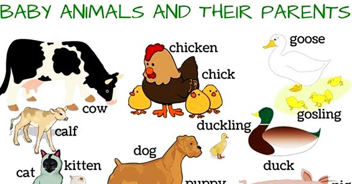 Vocabulary: Baby Animals & Their Parents 5