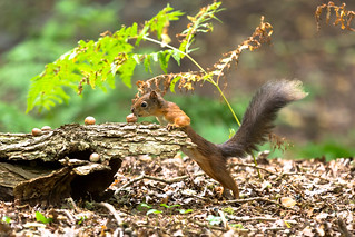 Red Squirrel | by John Ambler