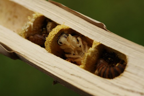 Carpenter Bee nests | by firefly041300