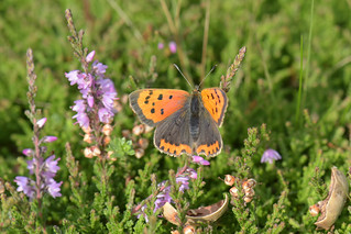 Lycaena phlaeas - Small Copper | by d.hunt67