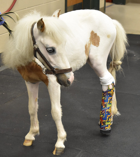 Pictured is Pogo, a miniature horse with a prosthetic leg.