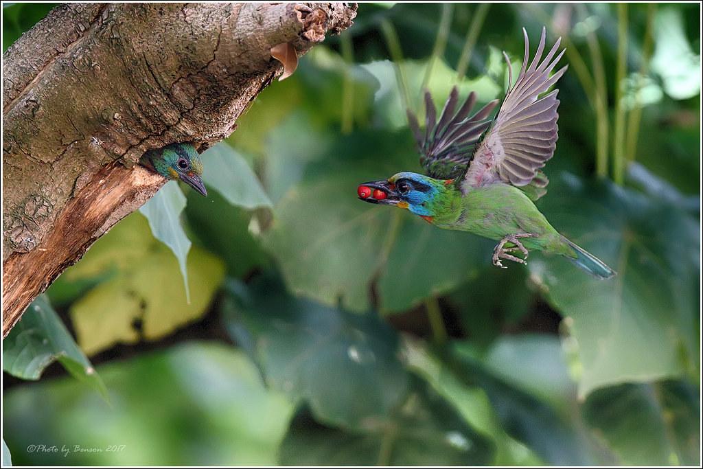 五色鳥採了紅紅的果實回巢育鶵。圖片來源:flickr  擁有者:Benson lin (CC BY-NC 2.0)。
