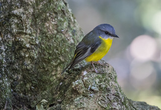 Eastern Yellow Robin (1) | by bidkev1 and son (see profile)