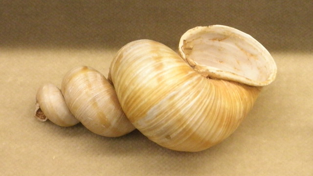 Scalarid shell of Helix pomatia
