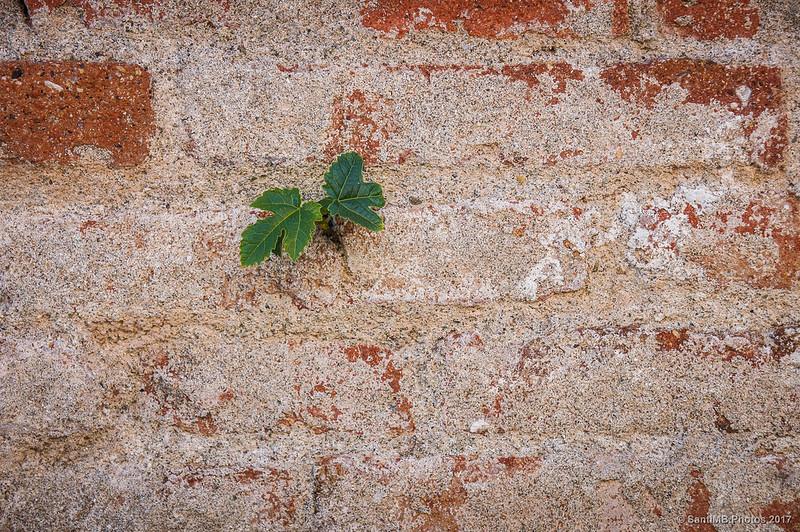 Brote de higuera en una pared de la Caserna dels Carrabiners