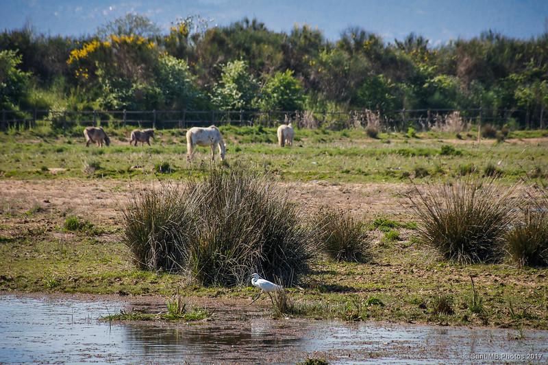 Garceta común en una marisma del Delta del Llobregat
