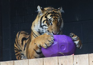 Tiger ZSL London Zoo | by H. Smithers