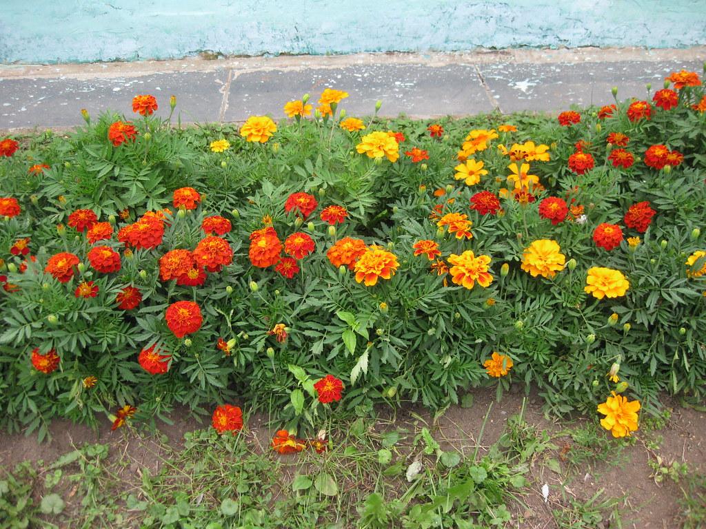Цветы бархотки