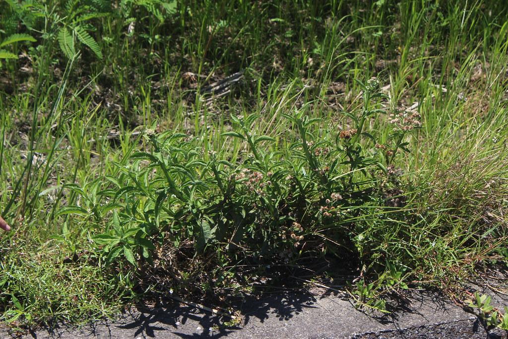 阿農伯田區附近慣行農田,只要不噴除草劑,仍可見多樣的野草。攝影:廖靜蕙