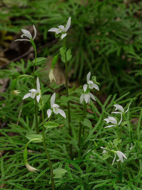 Three-birds orchids and Ground Cedar