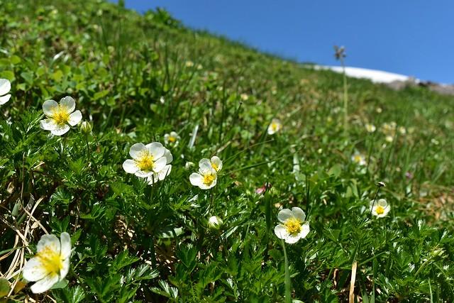 姥ヶ岳のチングルマ