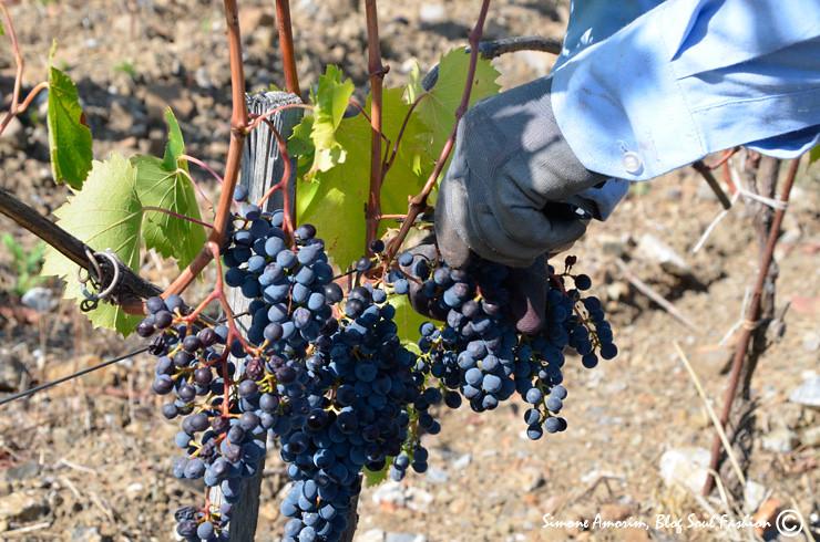 Uvas sangiovese sendo colhidas para a produção do mundialmente famoso: Brunello di Montalcino.
