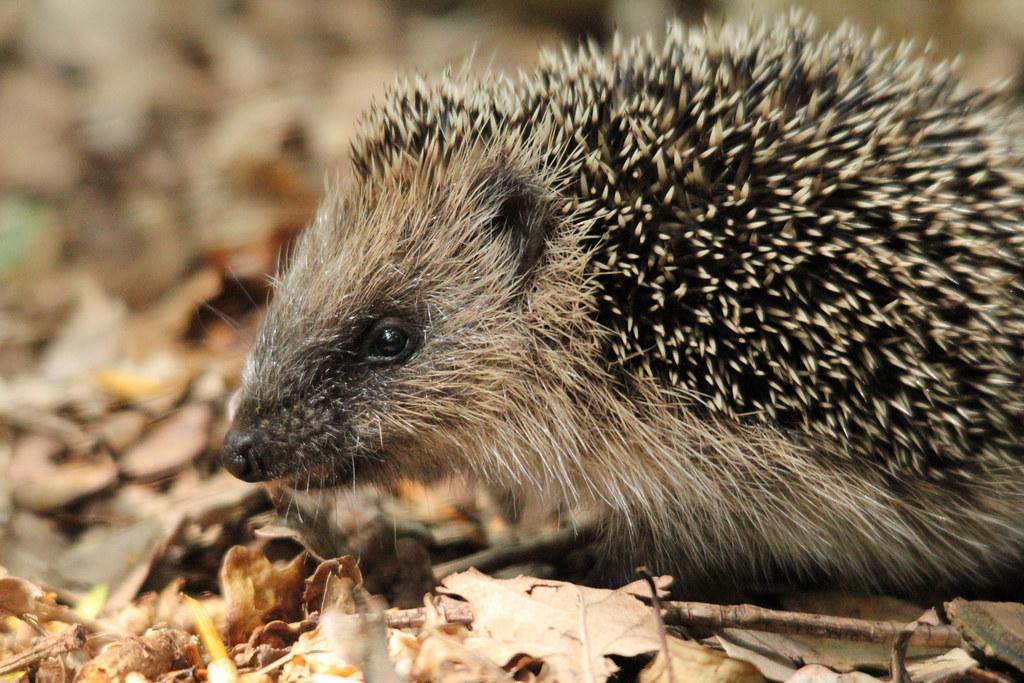 鑽研刺蝟研究的生態學家休.華威認為,這種可愛的生物在英國城市和鄉村都面臨了生存危機。圖片來源:milo bostock (CC BY 2.0)。