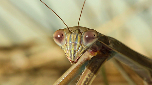 Mantis macro | by phl_with_a_camera1