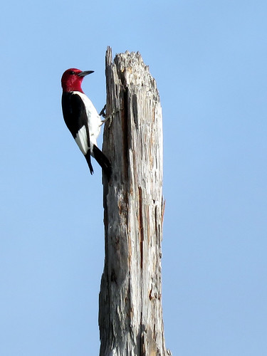 Red-headed Woodpecker | by Powered By Birds