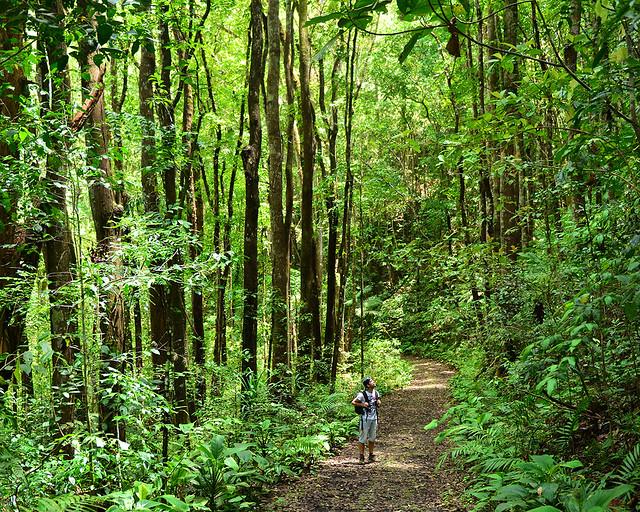 Diario de un Mentiroso en el handmade Forest de Bohol, en Filipinas, rodeado por enormes árboles