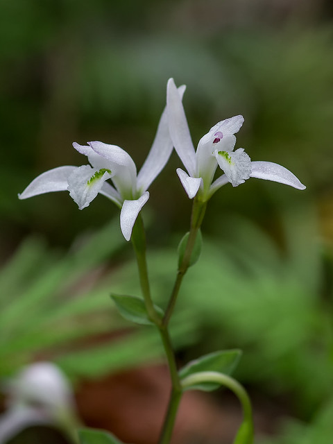 Three-birds orchids