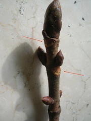 2a cicatrici  lasciate dai piccioli delle foglie