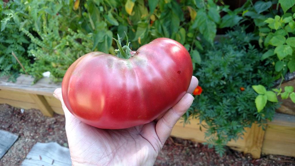 cherokee purple...seed to dish 36197259930_5d457d627f_b