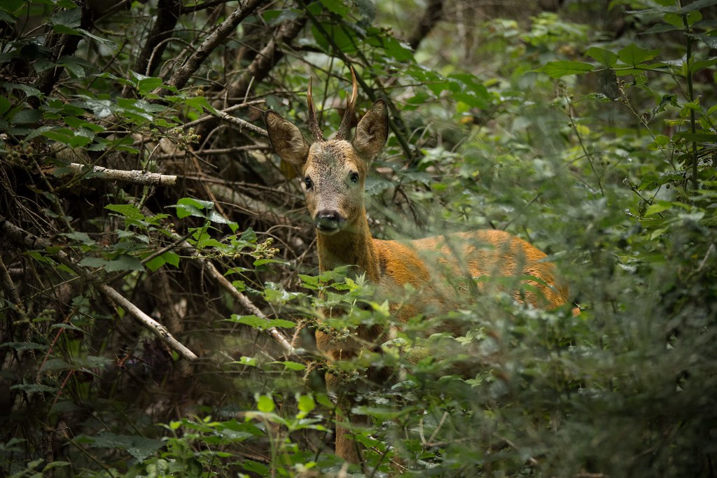 Bois du bureau .. #deer #chevreuil #mountain #wildlife #tau2026 flickr
