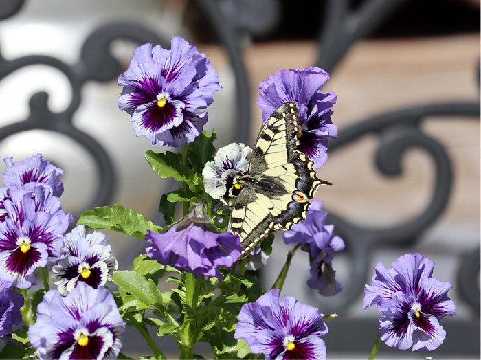 Ritariperhonen puutarhassa